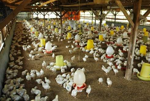 How can vaccination be improved to eradicate avian influenza H5N1 in Indonesia?