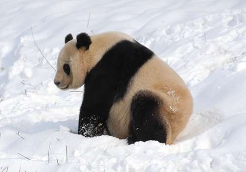 How fussy pandas maintain a balanced bamboo diet
