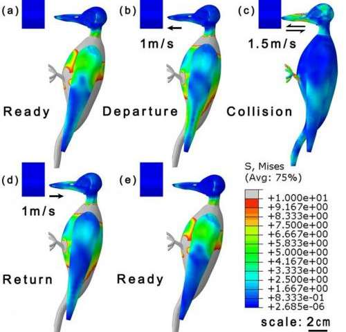 How the woodpecker avoids brain injury despite high-speed impacts via optimal anti-shock body structure