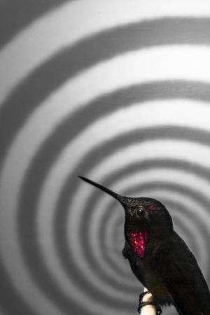 Hummingbird's hover surprisingly easy to hack