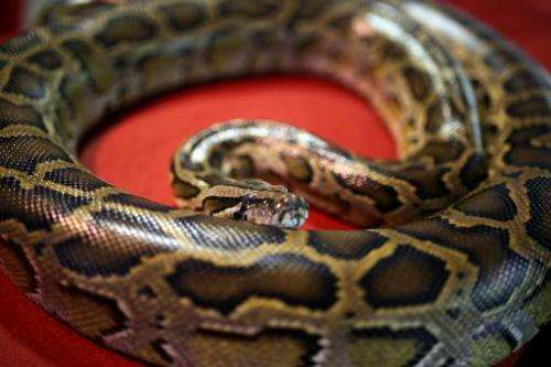 Illegal python skins worth an estimated $1 billion are being imported into Europe every year to feed growing demand for the luxu