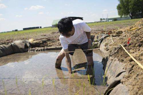 Illinois study may improve rice productivity