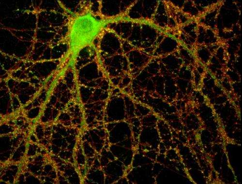 Immune proteins moonlight to regulate brain-cell connections