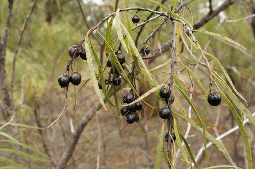 Indigenous medicine – afusion of ritual and remedy