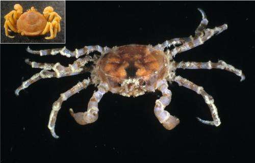 Invading crabs could threaten life in the Antarctic