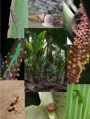 Invasion of yellow crazy ant in a Seychelles UNESCO palm forest: Threats and solutions