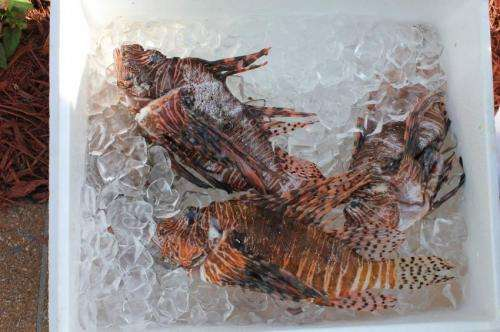 Invasive lionfish likely safe to eat after all