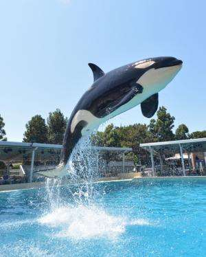 Killer whales living with bottlenose dolphins demonstrate cross-species vocal learning