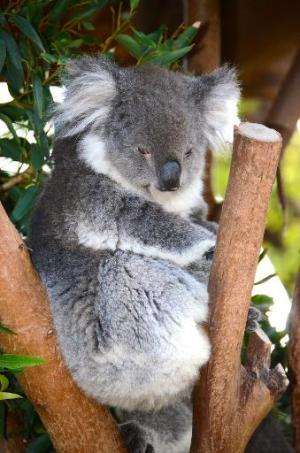 Koalas have been under increasing threat, with the Australian government classifying it as a vulnerable species amid a plunge in