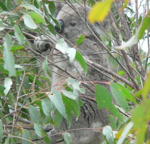 Koalas selective about eucalyptus leaves at mealtime
