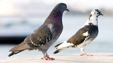 Landscape complexity affects pigeons' navigation