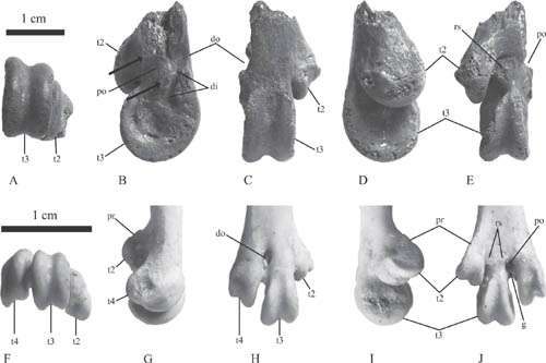 Large anseriform fossils found from the late eocene of xinjiang, china