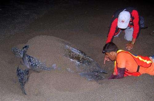 Leatherback turtle nesting season begins in Nicaragua