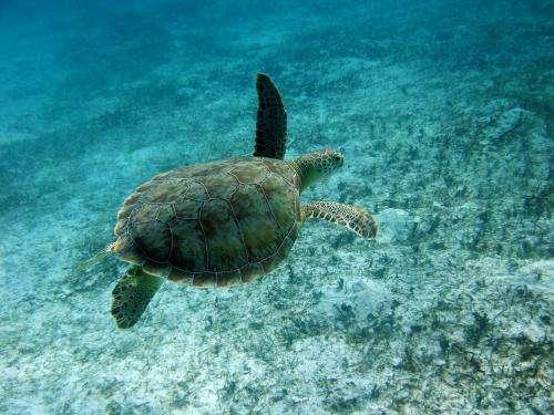 Legal harvest of marine turtles tops 42,000 each year