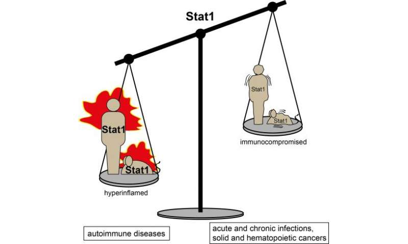 A healthy balance - a model for studying cancer and immune diseases