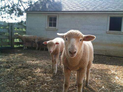 Link between falling hormone and early puberty in sheep