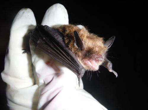 'Listening' helps scientists track bats without exposing the animals to disease