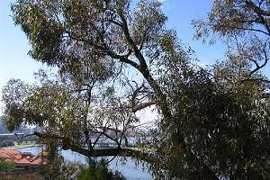 Local eucalypts resist crossbreeding with introduced species