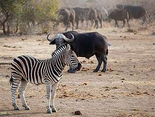 Loss of African wildlife spurs a cascade of consequences in savannas