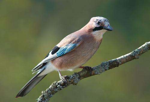 Male Eurasian jays know that their female partners' desires can differ from their own