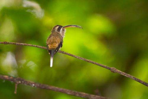 Male hummingbirds use beaks when fighting to stab at their opponents' throats