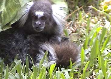 Male monkey filmed caring for dying mate