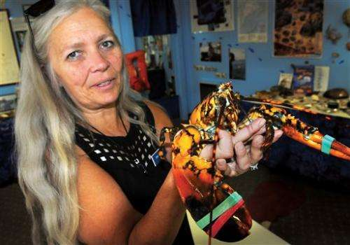 Man finds calico lobster, gives it to aquarium