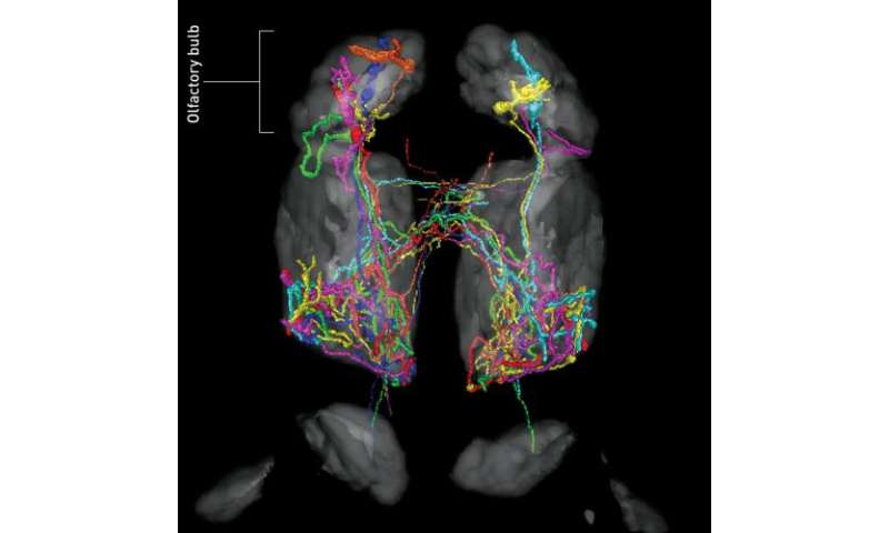Map of brain connections provides insight into olfactory system