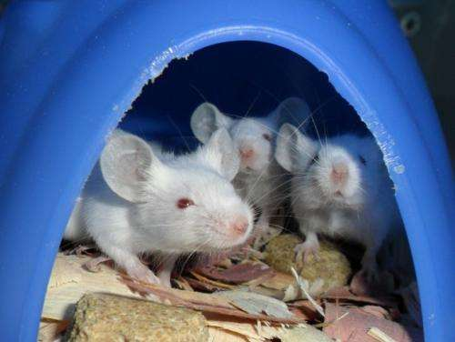 Antimicrobial found to calm inflamed gut in mice