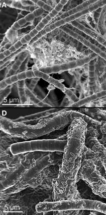 """Model """"microecosystems"""" used to study producer-consumer interaction networks in microbial mats"""