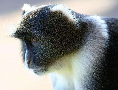 Monkeys fear big cats less, eat more, with humans around