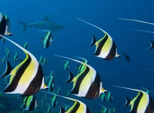 Moorish Idols are seen swimming in large schools to spawn in the Ulong Channel, in the small Pacific island nation of Palau, Aug