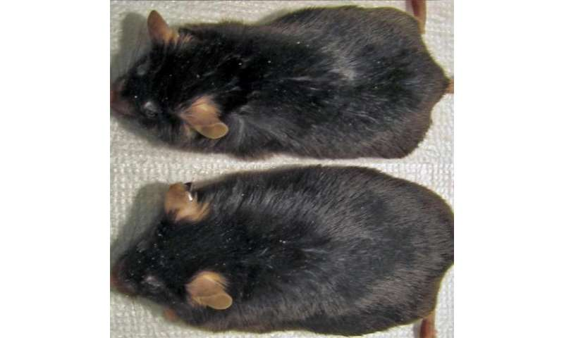 Mothers' sleep, late in pregnancy, affects offspring's weight gain as adults