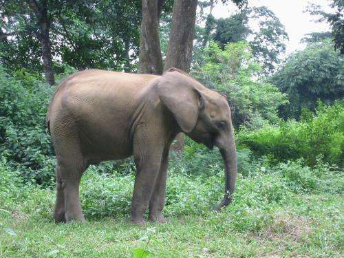 MU researcher's study of African forest elephants helps guide research efforts in the US