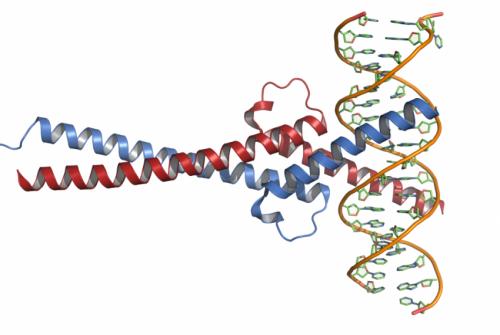 MYC gene