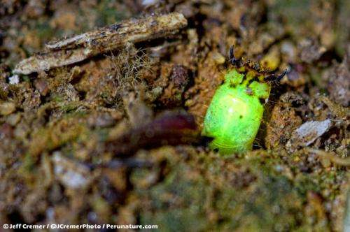Mysterious glowworm found in Peruvian rainforest