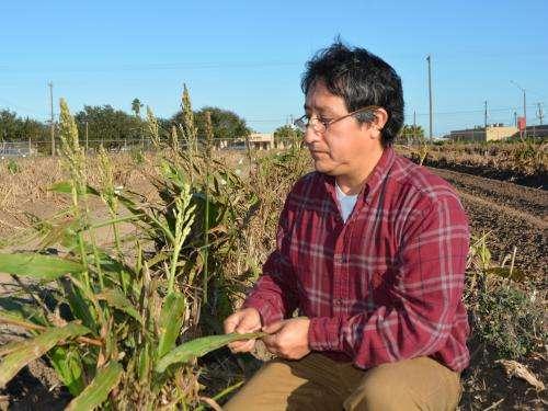 Mysterious pest threatens Texas' billion dollar grain sorghum crop