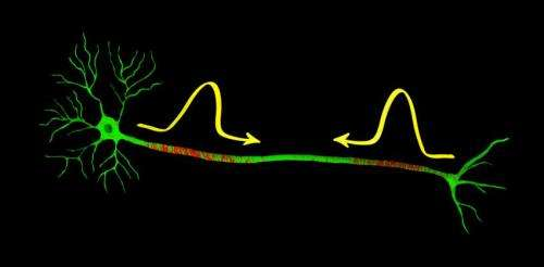 Nerve impulses can collide and continue unaffected