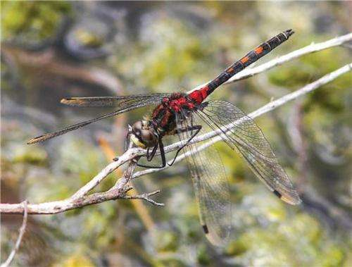 New atlas reveals trends in British dragonfly species