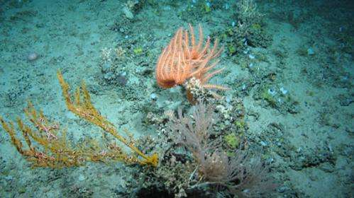 New corals discovered on UKs highest underwater mountain