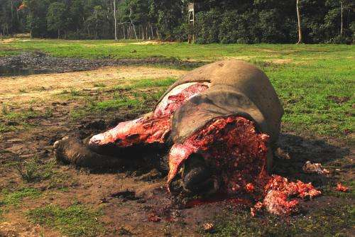 New data shows continued decline of African forest elephants