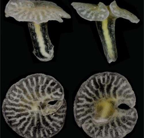New deep sea mushroom-shaped organisms discovered