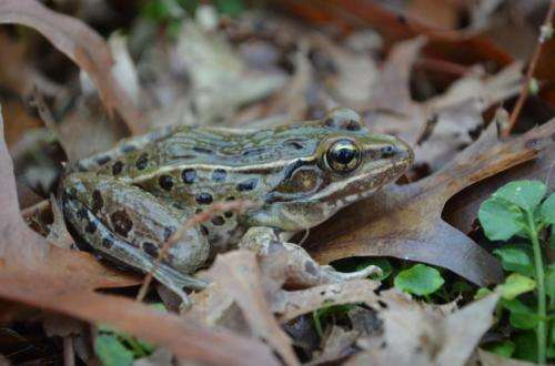 New frog discovered inhabiting I-95 corridor from Connecticut to North Carolina