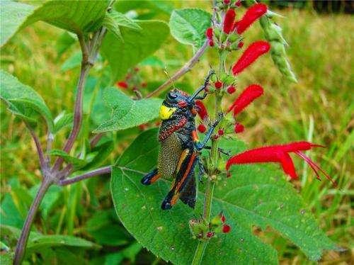 New grasshopper species named after Grammy winner