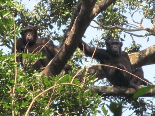 New large population of chimpanzees discovered