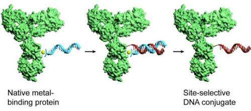 New method provides researchers with efficient tool for tagging proteins