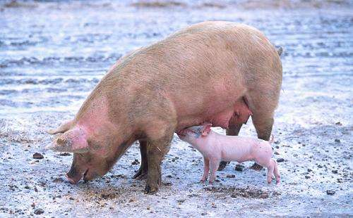 New Probiotic Improves Pig Health, Reduces Manure Output