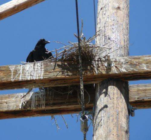 New study: Ravens rule Idaho's artificial roosts