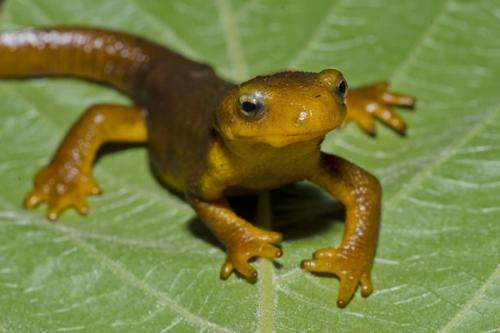 Newts help chemist and radiologists to locate source of pain