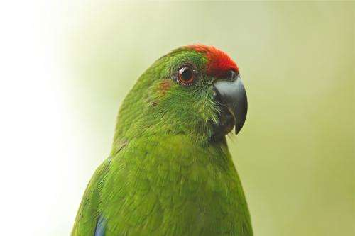 Norfolk Island's endangered Green Parrot numbers on the rise